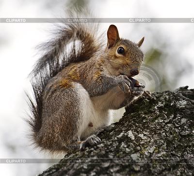 Amerikanische Grauhörnchen | Foto mit hoher Auflösung |ID 3915679