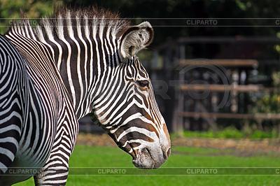 Grevys zebra | Foto mit hoher Auflösung |ID 3923134