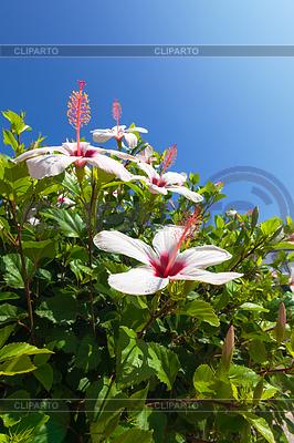 푸른 하늘 아름 다운 부시 흰색 꽃 | 높은 해상도 사진 |ID 3863445