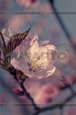 Japanische Kirschblüte | Foto mit hoher Auflösung |ID 3797839