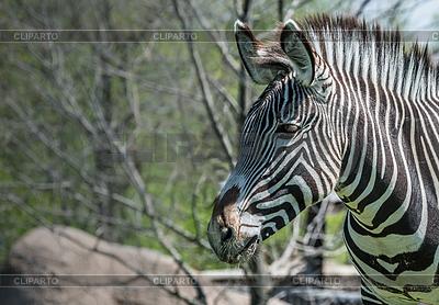 Grevy's Zebra | 높은 해상도 사진 |ID 3799431