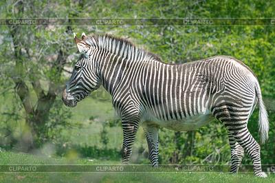 Grevy's Zebra | Foto stockowe wysokiej rozdzielczości |ID 3799432