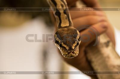 Pinstripe Python | 높은 해상도 사진 |ID 3793703