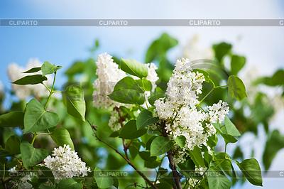 Белая сирень весной | Фото большого размера |ID 3988649