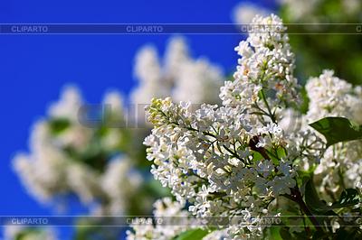 White lilac spring against blue sky | Foto stockowe wysokiej rozdzielczości |ID 4007135