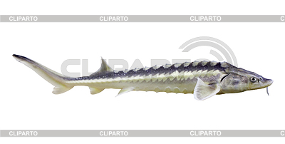 철갑 상어 | 높은 해상도 사진 |ID 4017365