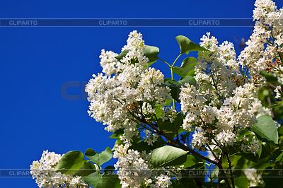 White lilac branch | Foto stockowe wysokiej rozdzielczości |ID 4048358