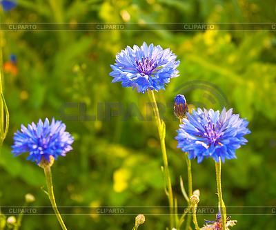 Василек цветы на лугу в начале лета